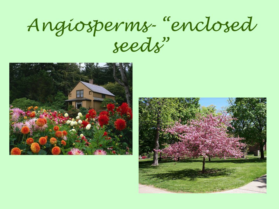 Angiosperms- enclosed seeds