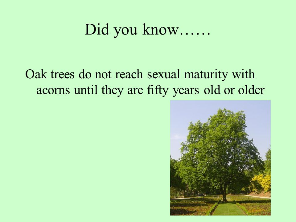 Did you know…… Oak trees do not reach sexual maturity with acorns until they are fifty years old or older.