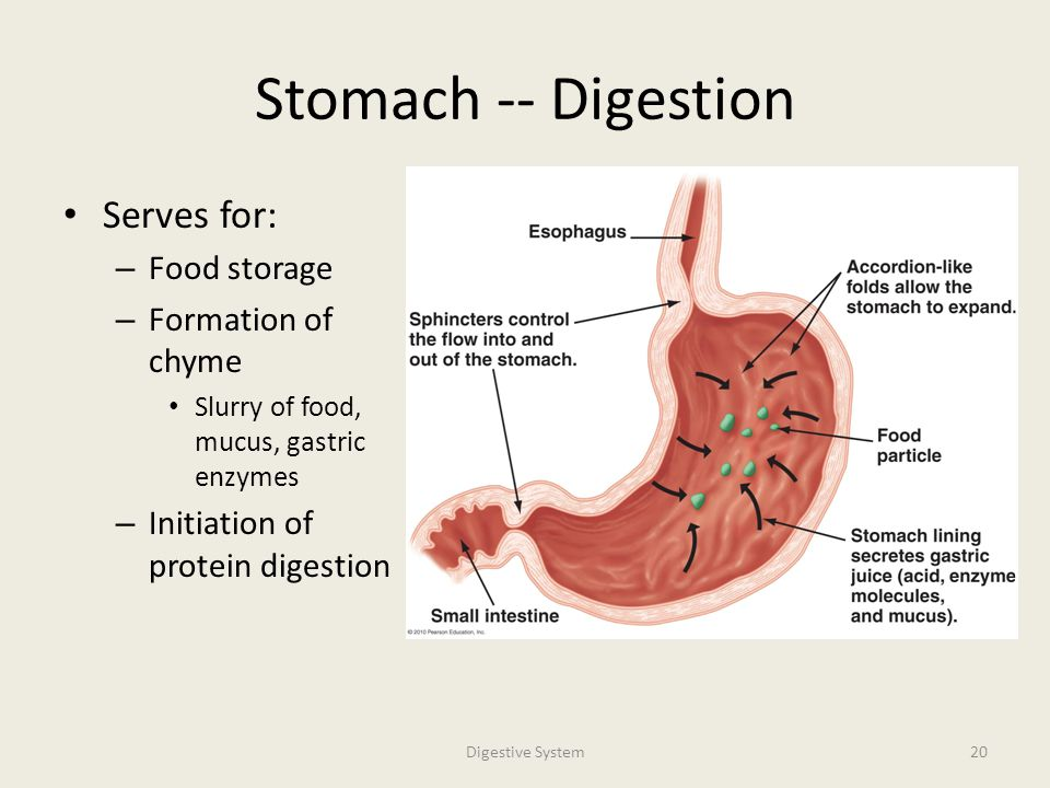 digestive system professor andrea garrison biology ppt video, Human Body
