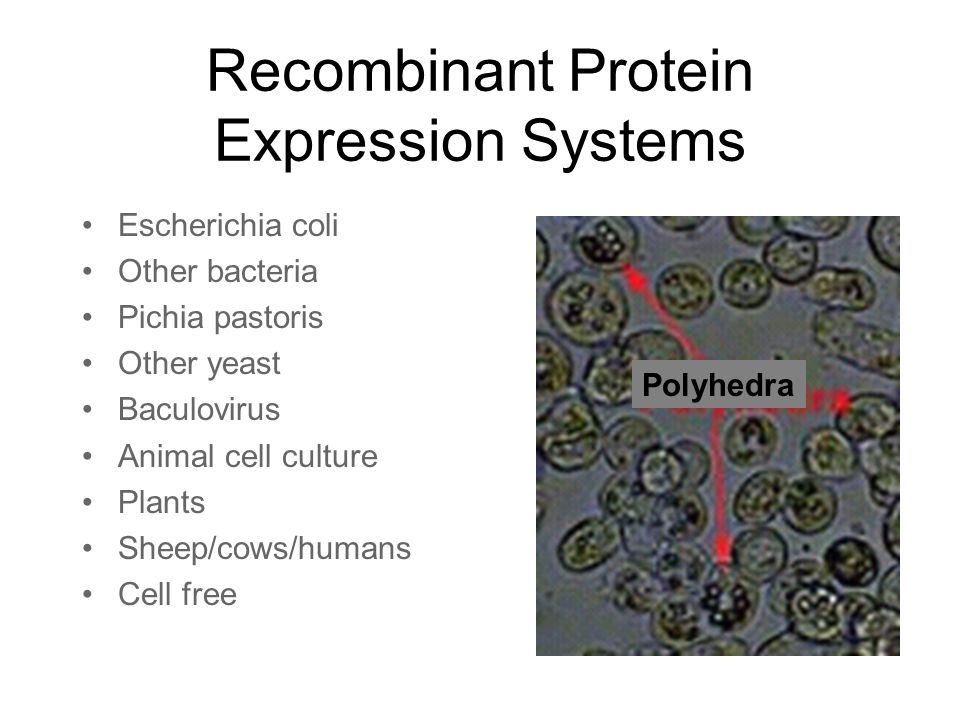Recombinant Protein Production Ppt Video Online Download