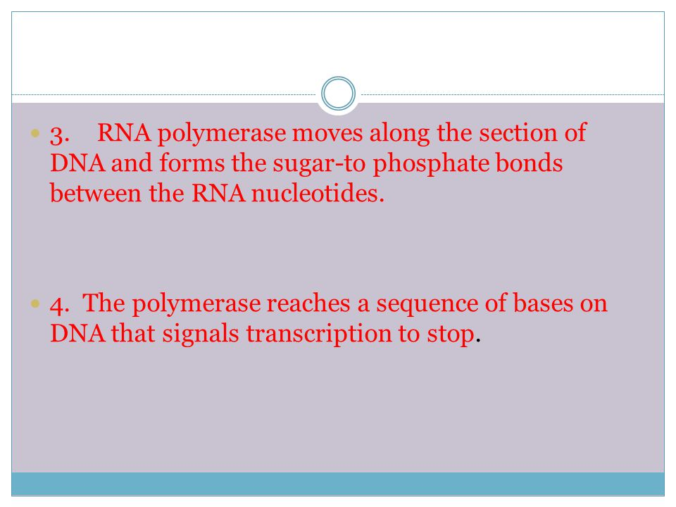 3. RNA polymerase moves along the section of DNA and forms the sugar-to phosphate bonds between the RNA nucleotides.