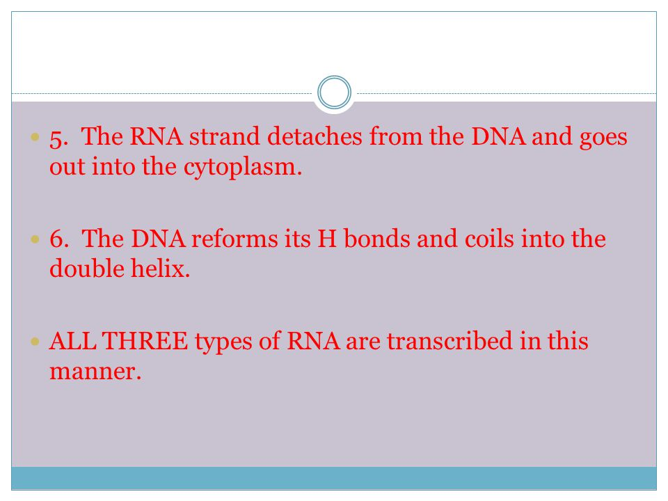 5. The RNA strand detaches from the DNA and goes out into the cytoplasm.