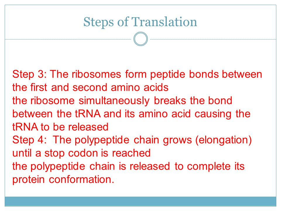 Steps of Translation Step 3: The ribosomes form peptide bonds between the first and second amino acids.