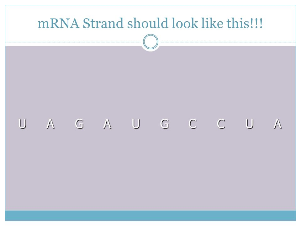 mRNA Strand should look like this!!!