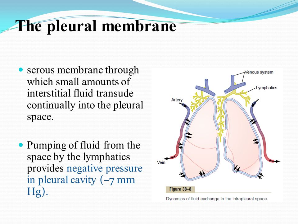 The pleural membrane serous membrane through which small amounts of interstitial fluid transude continually into the pleural space.