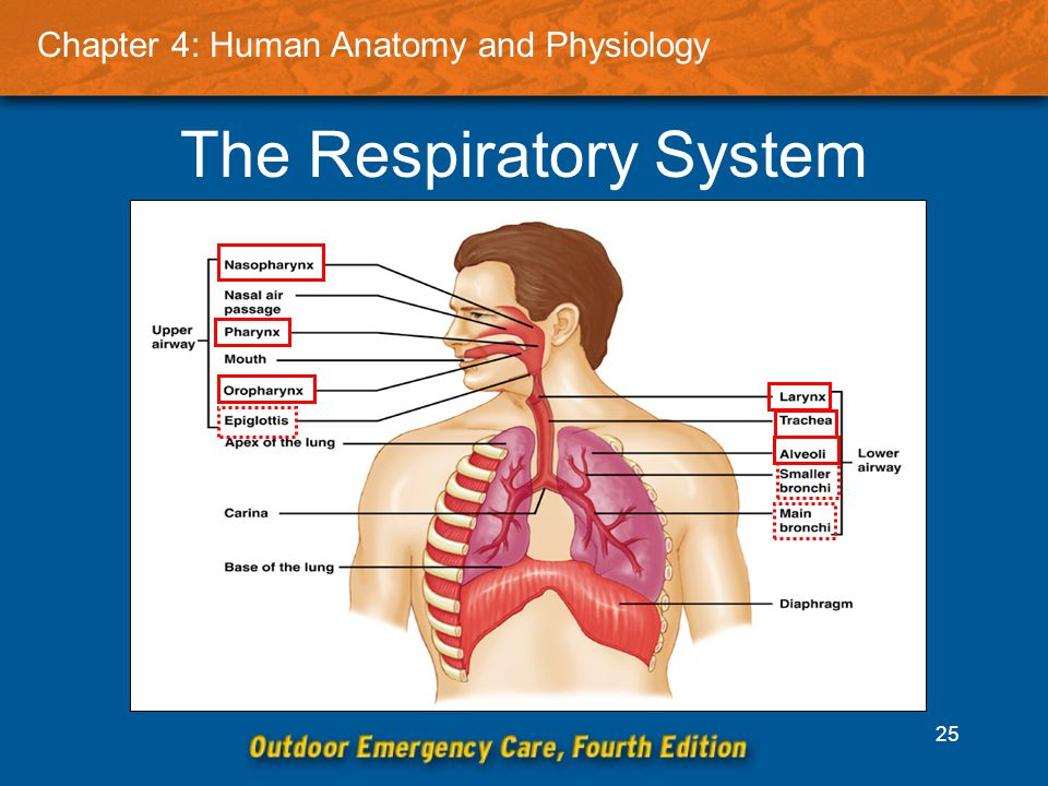 Beste Human Anatomy And Physiology Respiratory System Ideen ...