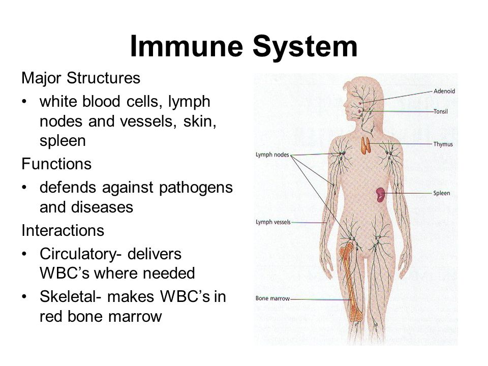 a look at the human immune system Hiv, or human immunodeficiency virus, evades the human immune system in a different way it uses rapid mutation to stay one step ahead of the immune system hiv is a retrovirus, which means it has an rna genome that it uses as a template to make double-stranded dna that is then incorporated into the host genome.
