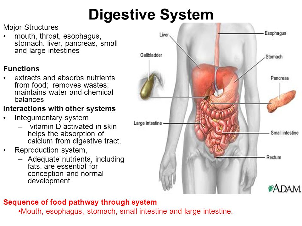 functions of digestive system This digestive system animation explains the mammalian digestive system: the structure of the alimentary canal, working and its functions the six primary processes of the digestive system include.