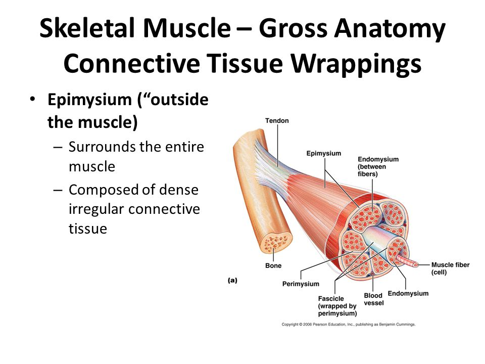 anatomy muscle tissue essay This free science essay on essay: anatomy is perfect for science the thick myocardium is mostly made up of cardiac muscle tissue which is nourished by.