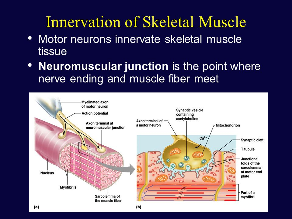 which tissue comprises the muscle wrappings Nervous tissue or nerve tissue is the main tissue component of the two parts of the nervous system the brain and spinal cord of the central nervous system (cns), and the branching.