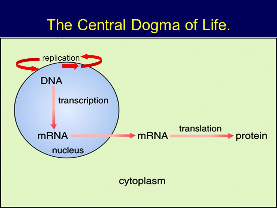 The Central Dogma Of Life Ppt Video Online Download