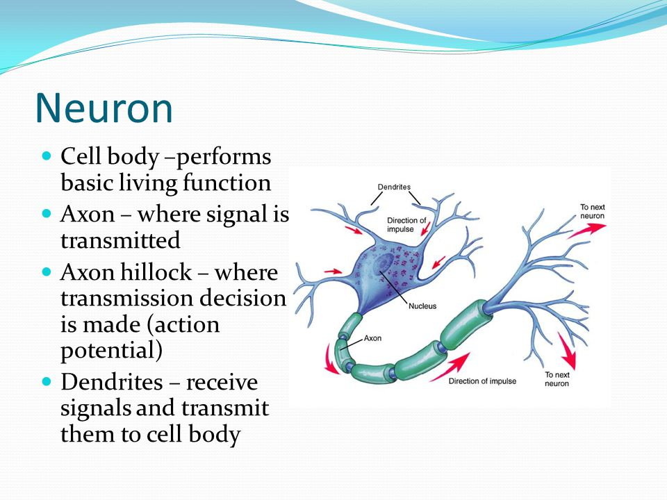 neuron cell body from - photo #5