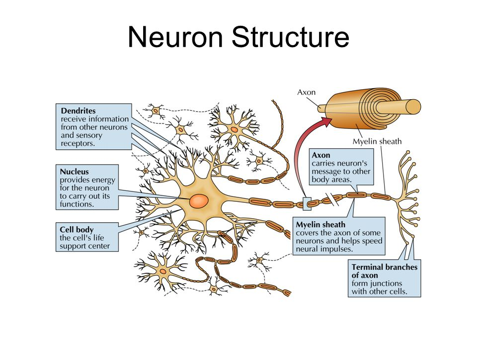 Neuron structure ppt video online download ccuart Images