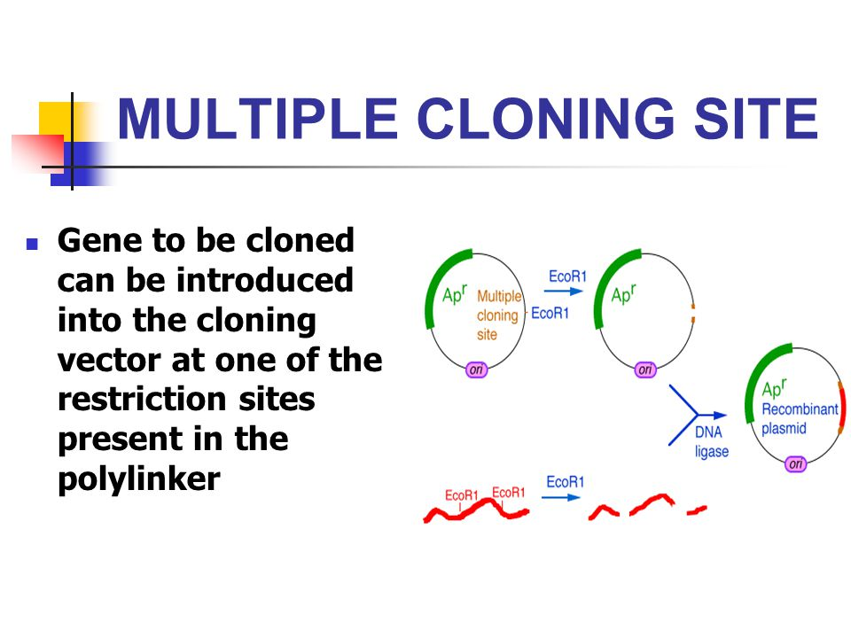 the principles of the cloning in the biology The efficiency of cloning, and the ability to generate healthy cloned animals, has been largely hampered by the difficulty of _____ completely reversing epigenetic alterations in donor cell nuclei such as dna methylation and chromatin packing.