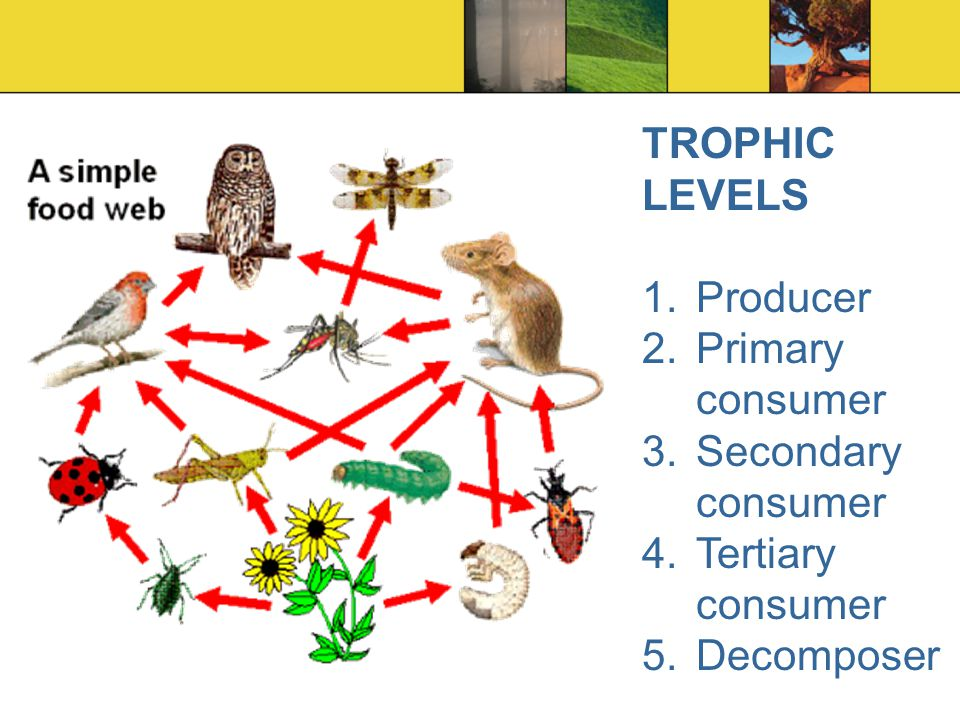 Trophic Levels Decomposers | www.pixshark.com - Images ...