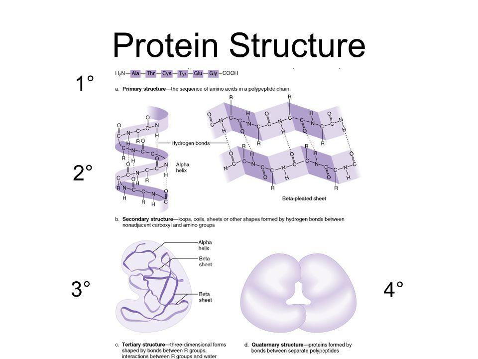 protein structure worksheet resultinfos. Black Bedroom Furniture Sets. Home Design Ideas