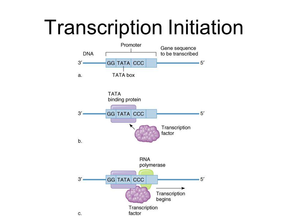 further Dnastructure in addition Transcription Translation Worksheet further Dna Replication Drawing Honros further Orig Orig. on dna strand worksheet