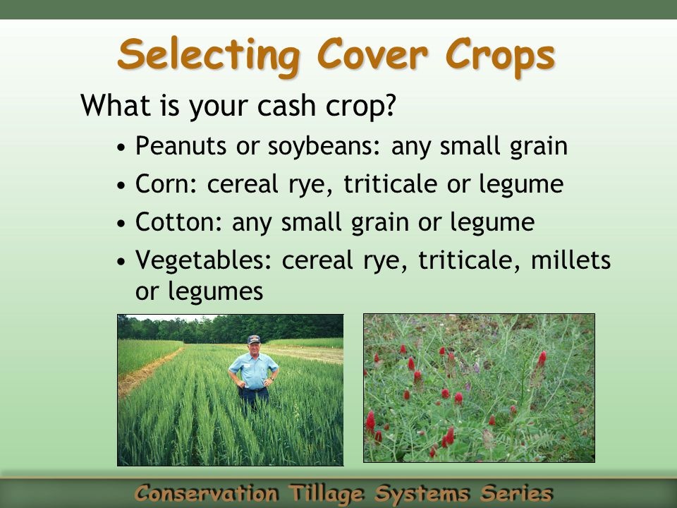 Selecting Cover Crops What is your cash crop