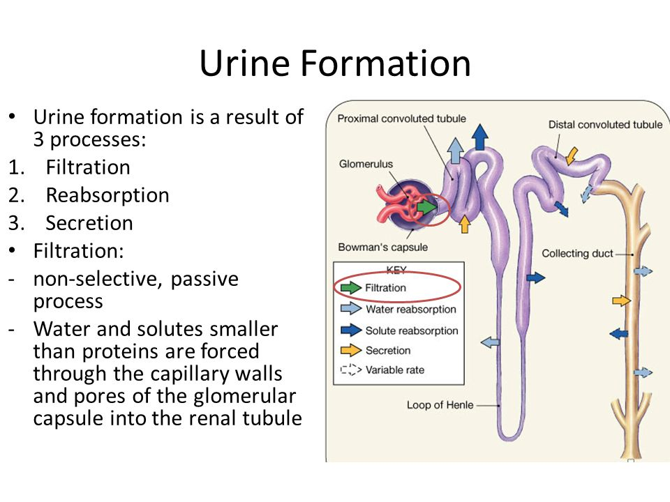urine formation Composition of the glomerular filtrate urine formation begins with filtration of  large amounts of fluid through the glomerular capillaries into.