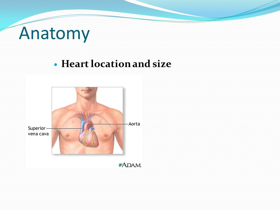 Anatomy Heart location and size