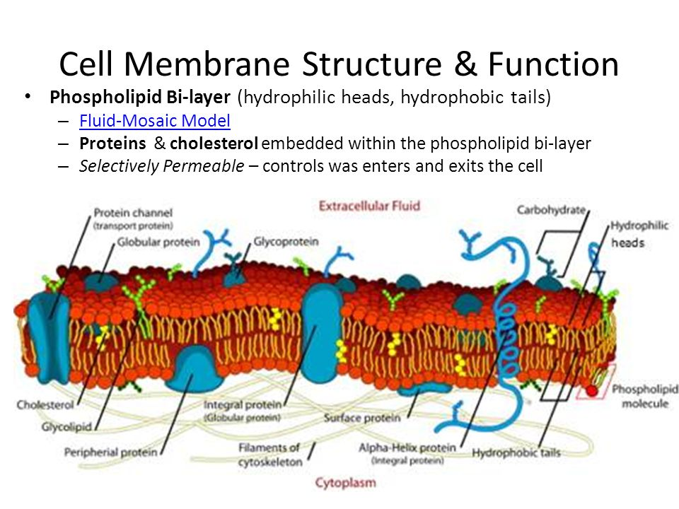 Cell Membrane Structure Cholesterol Chapter 7.3 Cell Trans...