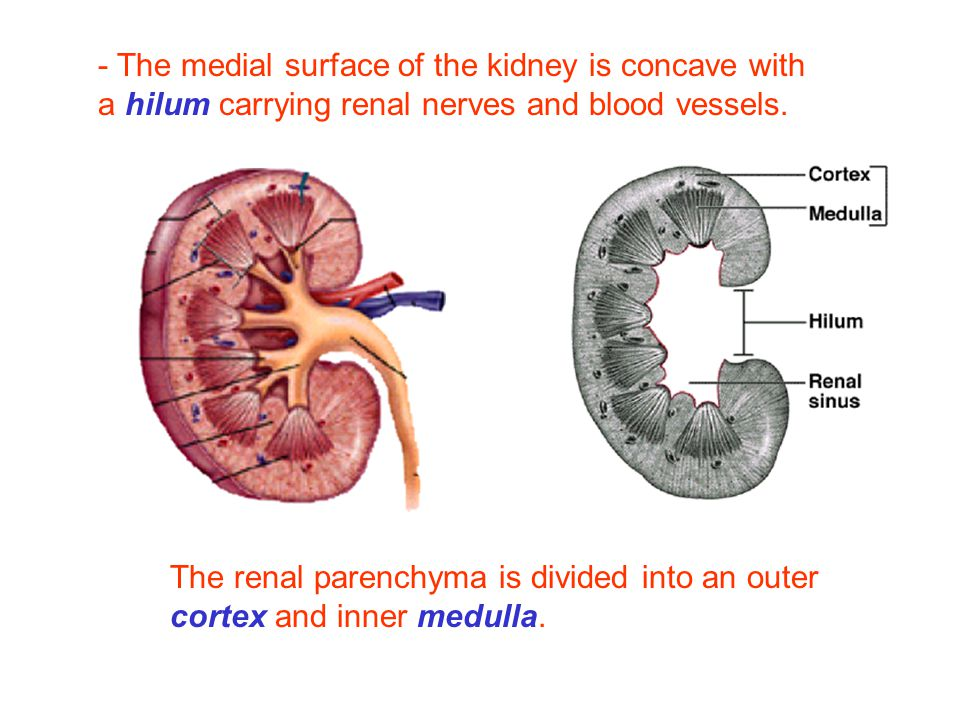 Renal Hilum Download On The Power,...