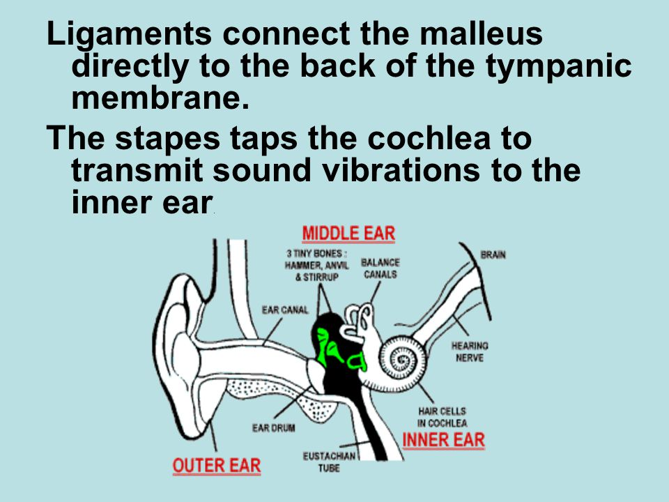 Ligaments connect the malleus directly to the back of the tympanic membrane.