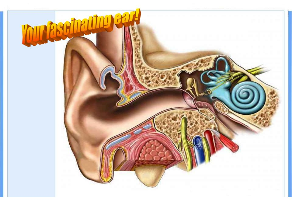 The hearing mechanism Your fascinating ear!
