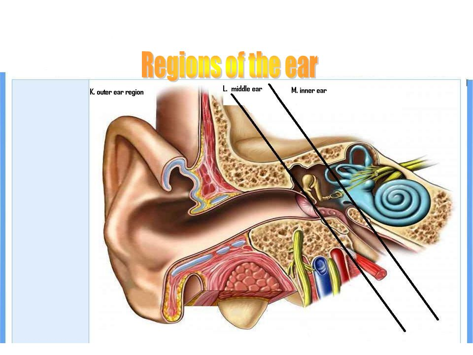 Regions of the ear REGIONS OF THE EAR Regions of the ear