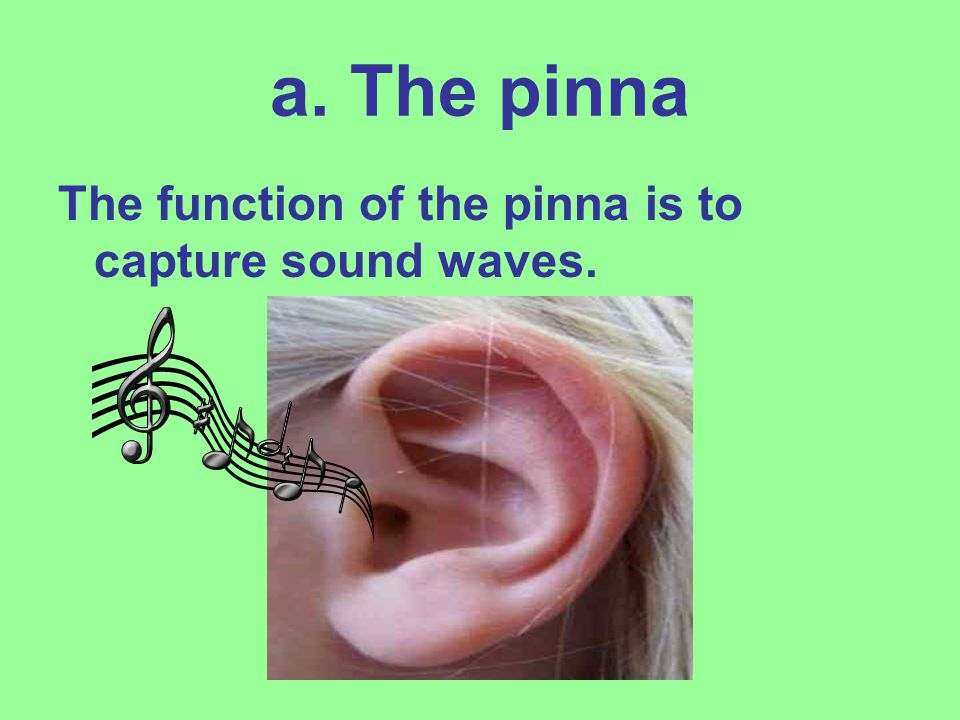 a. The pinna The function of the pinna is to capture sound waves.