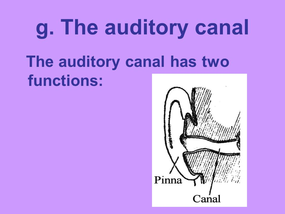 g. The auditory canal The auditory canal has two functions: