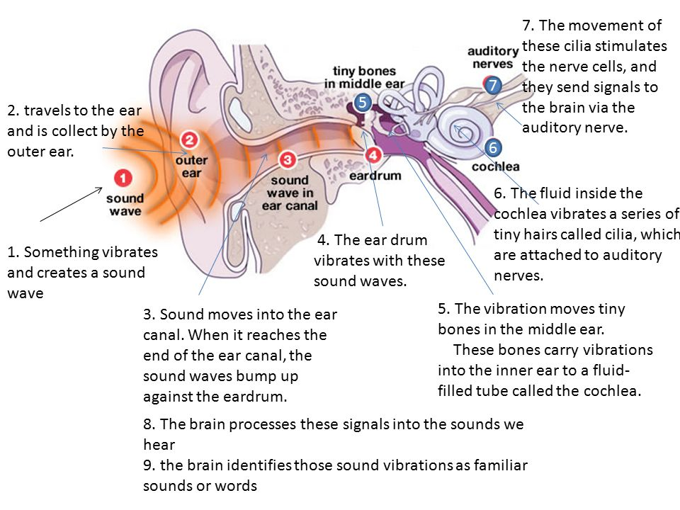 7. The movement of these cilia stimulates the nerve cells, and they send signals to the brain via the auditory nerve.