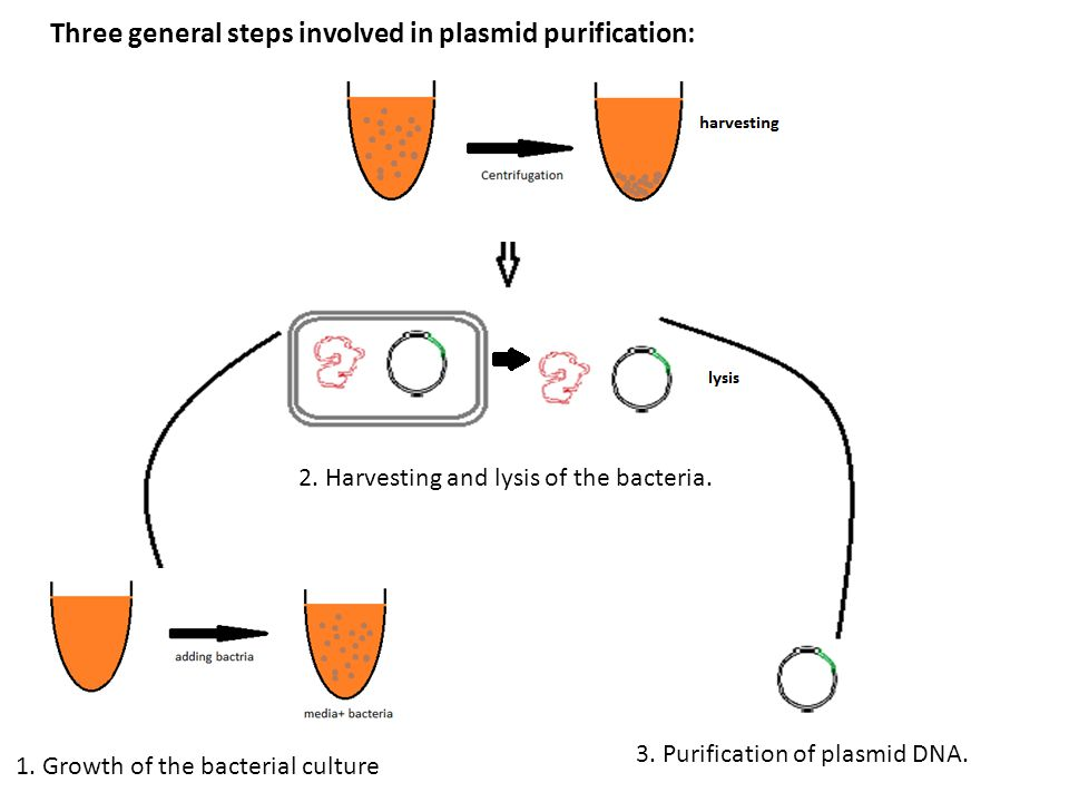 extraction of bacterial plasmid dna and Plasmid dna extraction as there are several methods to isolate plasmid dna from bacteria, the archetypes of which are the miniprep and the maxiprep/bulkprep.