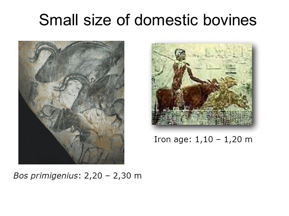 Small size of domestic bovines
