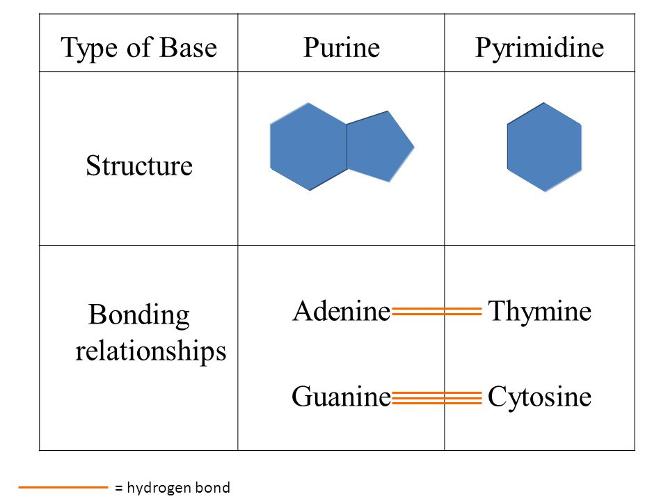 adenine and thymine relationship quiz