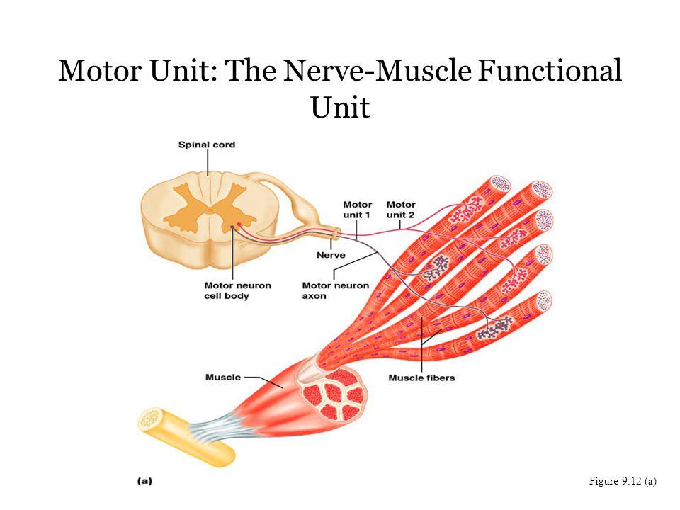 Famous Motor Unit Anatomy Pattern - Human Anatomy Images ...