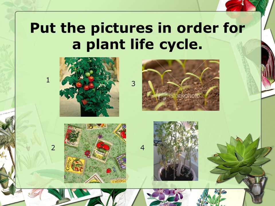 Put the pictures in order for a plant life cycle.