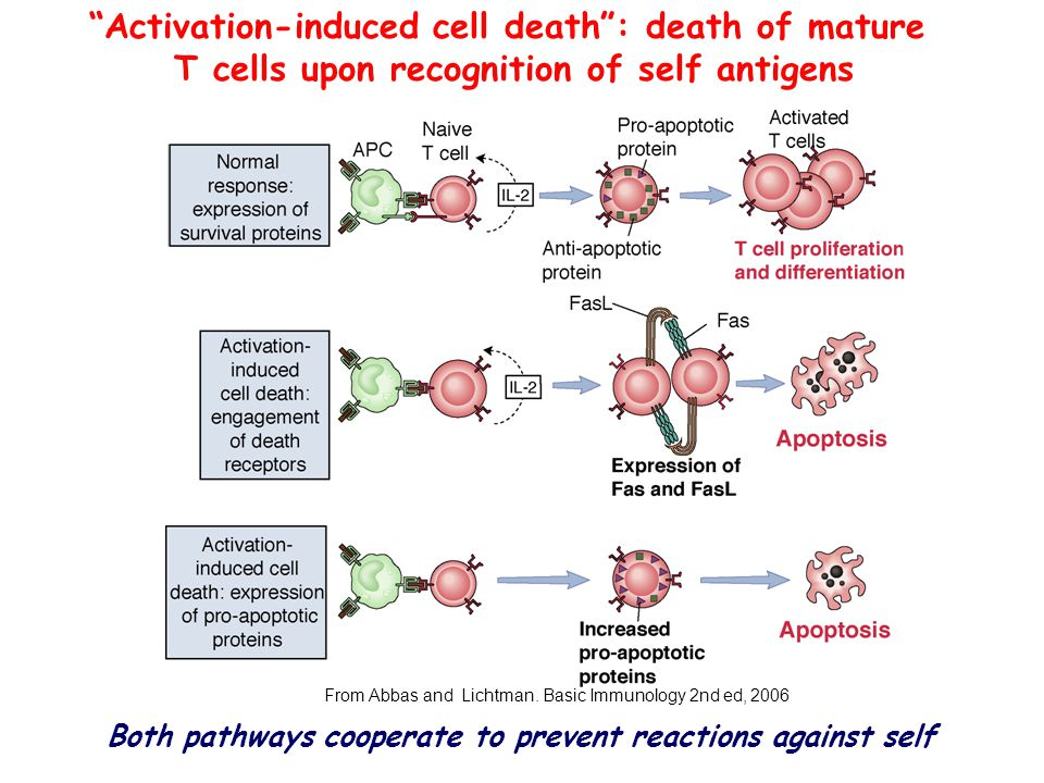 Activation-induced cell death : death of mature