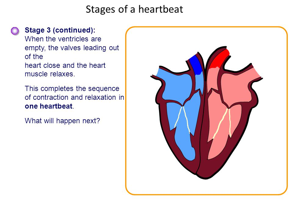 The heart and circulatory system ppt video online download 7 stages ccuart Image collections