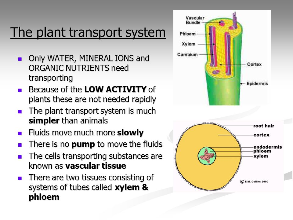 transport system of plants and animals The new study suggests many plants follow the law, and thus have water  transport systems that share more in common with the animal blood circulatory  system.