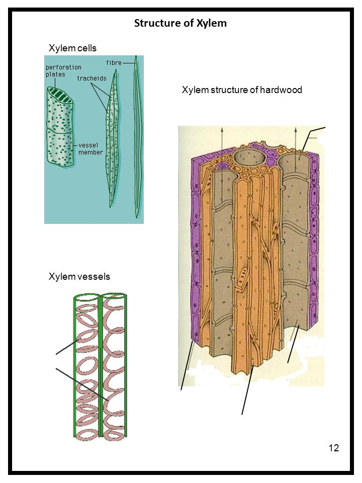 xylem cell A vessel element (trachea) is one of the cell types found in xylem, the water conducting tissue of plants vessel elements are found in flowering plants (angiosperms) but not in most gymnosperms such as conifers.