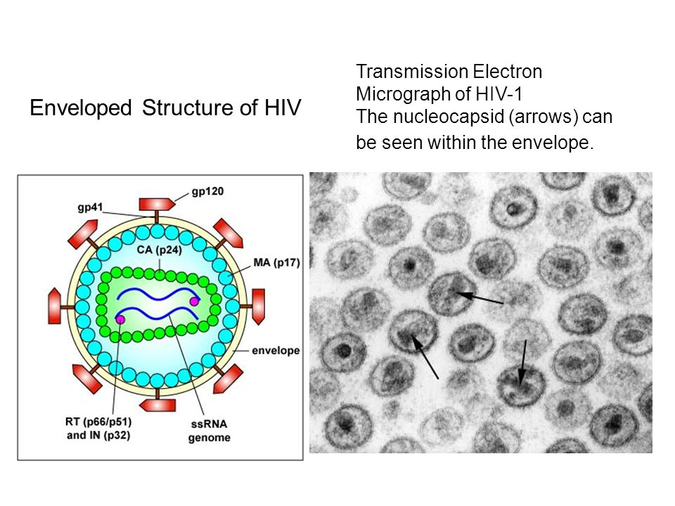 Enveloped Structure of HIV