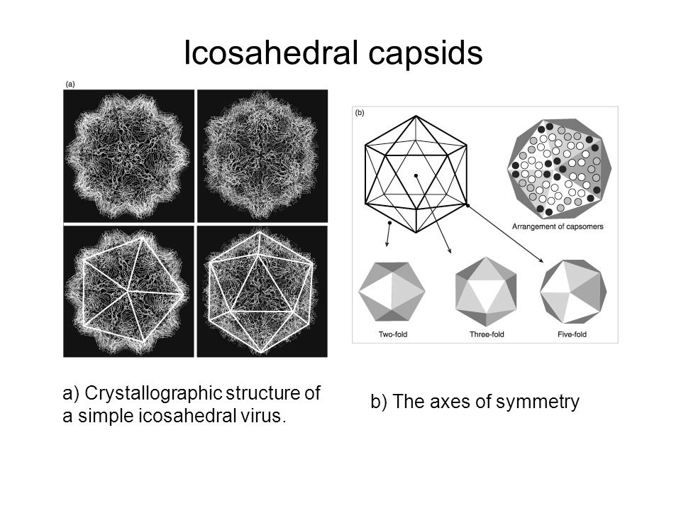 Icosahedral capsids a) Crystallographic structure of a simple icosahedral virus.