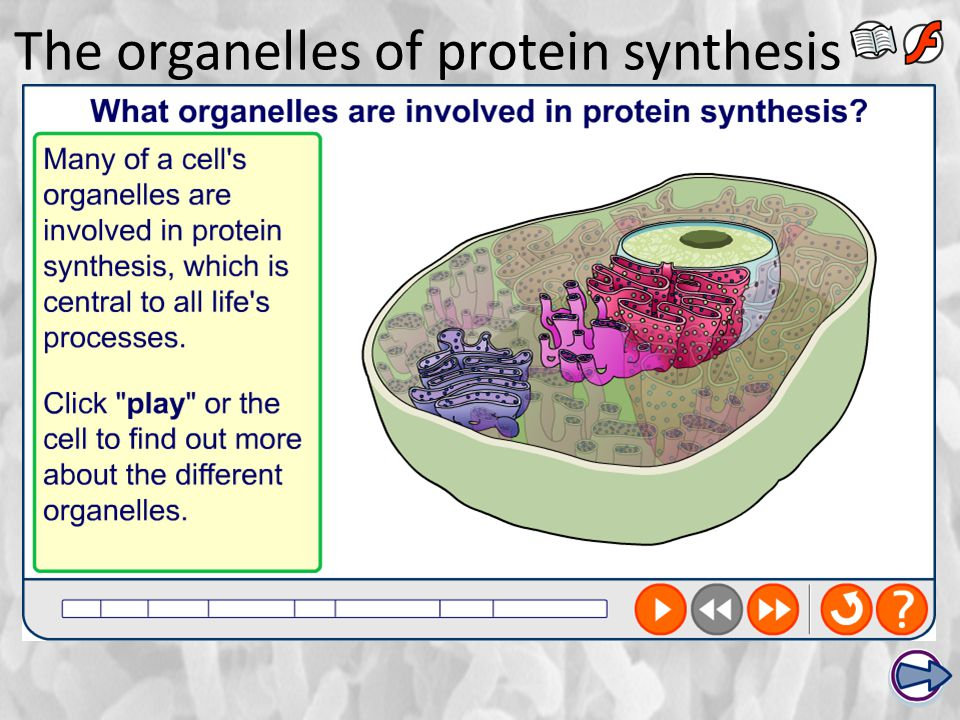 The organelles of protein synthesis