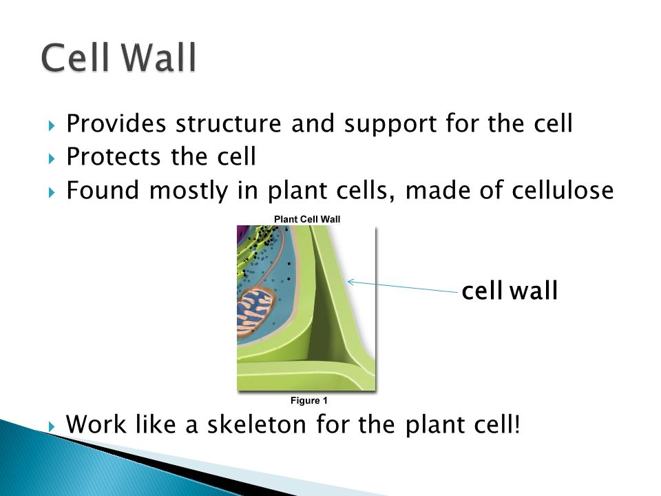 how do organelles impacts a cell u2019s activity