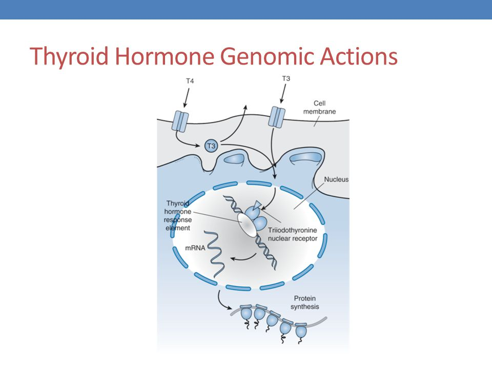 thyroid hormone action and receptors Regulation of thyroid hormone nuclear receptor levels in gh 1 cells by 3,5,3′-triiodo-l-thyronine: use of dense amino acid labeling to determine the influence of hormone on the receptor half-life and the rate of appearance of newly synthesized receptor j.