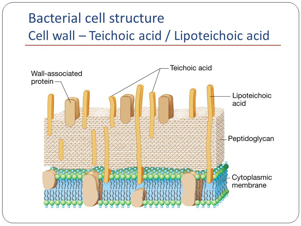 Bacterial Cell Structure - ppt video online download  Lipoteichoic Acid