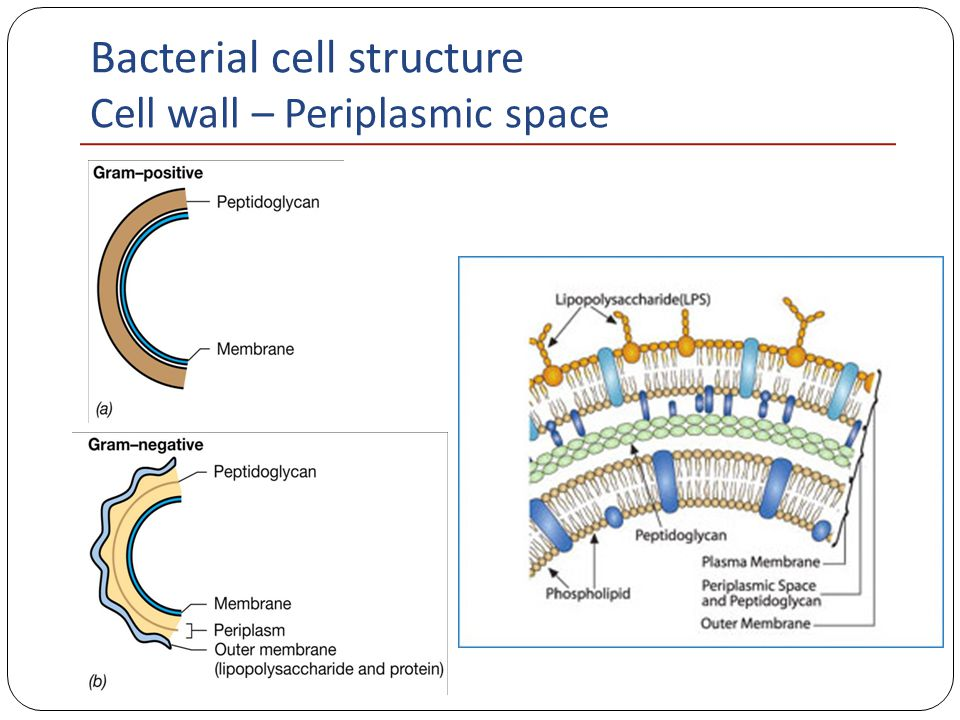bacteria cell structure Bacterial structure -lecture 1 - free download as word doc (doc), pdf file (pdf), text file (txt) or read online for free.