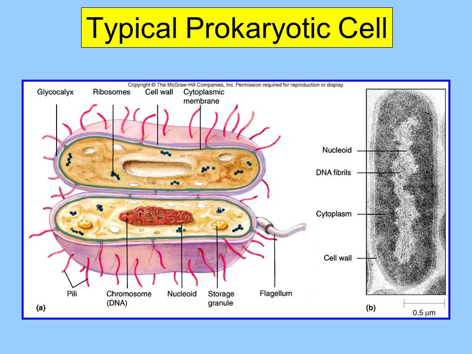 Typical Prokaryotic Cell