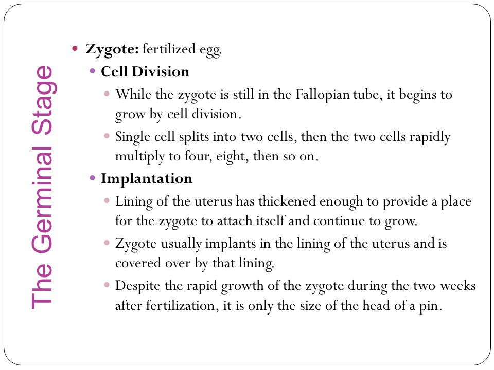 The Germinal Stage Zygote: fertilized egg. Cell Division